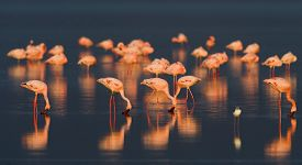 foto of water bird  - A flock of pink flamingos and reflection in the water - JPG