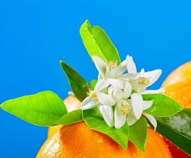 picture of valencia-orange  - Oranges with orange blossom flowers in spring on blue background - JPG