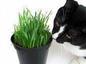 foto of catnip  - Cat sniffing and munching a vase of fresh catnip isolated on white - JPG