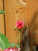 Rose Against Fence poster