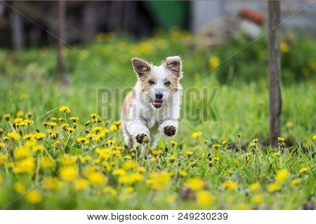 poster of adorable terrier dog running into dandelion field. dog running in garden. happy dog in spring