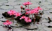 image of hydrophytes  - Pink lotuses on the river Kwai Thailand - JPG