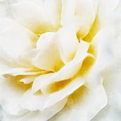 Closeup White Rose Fine Art, Digital Painting Created By Hand Using Several Techniques To Resemble W poster