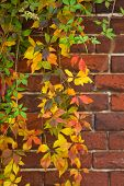 Colorful Virginian Creeper In Fall