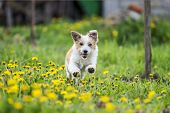 adorable terrier dog running into dandelion field. dog running in garden. happy dog in spring poster