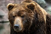 Kamchatka Brown Bear (ursus Arctos Beringianus). Brown Fur Coat, Danger And Aggresive Animal. Big Ma poster