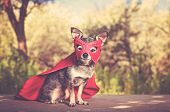 cute chihuahua sitting on a bench in a super hero costume outside toned with a retro vintage instagr poster