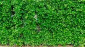 Green Leaves Texture Or Pattern Background. Green Leaves Texture Wall Background For Lanscape Design poster