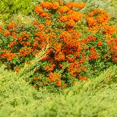 Autumn Orange Colored Berries With Green Leaves On Shrubs. Medicinal And Decorative Berries Grow On  poster
