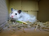 White Homey Fluffy Syrian Hamster In A Cardboard Box poster
