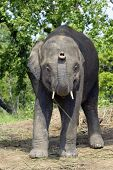 Постер, плакат: Азиатский слон Непала