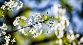 Beautiful Blossom Springtime Sunny Day Garden Landscape. Blossoming White Petals Fruit Tree Branch,  poster
