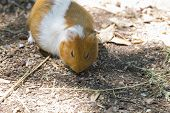 Close-up Image Of A Small Rodent Called A Guinea Pig poster