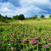 picture of red clover  - Clover field - JPG