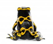 stock photo of poison dart frogs  - Rear view of a Yellow - JPG