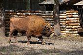 stock photo of aurochs  - The European bison  - JPG