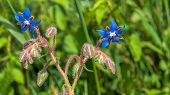 picture of borage  - Budding and blue flowering hairy Borage against a blurred natural background - JPG