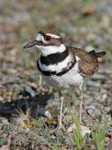 picture of killdeer  - A Killdeer hiding in a weedy field - JPG