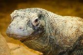 stock photo of komodo dragon  - Portrait of large Komodo dragon - JPG