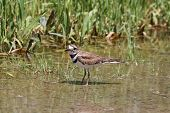 pic of killdeer  - Killdeer in a puddle of water at the side of a rural roadway left by recent rains - JPG
