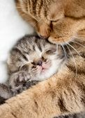 pic of lovable  - mother cat hugging little kitten - JPG