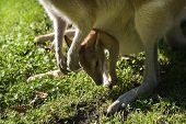 pic of wallabies  - Female wallaby with joey in puch on grass in close view - JPG
