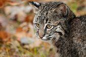 stock photo of bobcat  - Bobcat Kitten (Lynx rufus) Stares Left - captive animal ** Note: Slight graininess, best at smaller sizes - JPG