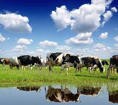 stock photo of pasture  - Cows grazing on pasture - JPG