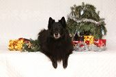foto of ten years old  - Nice groenendeal ten years old bitch with christmas decoration - JPG