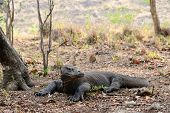 foto of komodo dragon  - A Komodo dragon resting under the tree in the Komodo national park is alarmed - JPG