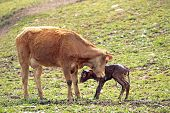 stock photo of calf cow  - Mother cow with newborn calf - JPG