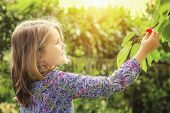 stock photo of bing  - little girl and cherry tree with summer sun in background - JPG