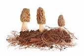 image of morchella mushrooms  - Three yellow morel mushrooms  - JPG