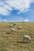 stock photo of dike  - Several sheep on a dike on the isle of Texel - JPG