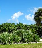 image of saw-palmetto  - Tropical foliage landscaping at a Florida beach - JPG