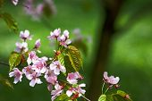 picture of cherry blossom  - Sakura (japanese cherry) branch against green backgrounds room for copy.