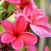 picture of frangipani  - Frangipani tropical flowers Plumeria flowers fresh - JPG