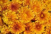 stock photo of mums  - Blooming orange yellow Mums or Chrysanthemums with rain drops autumn flower background - JPG
