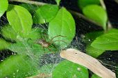 picture of cobweb  - Spider cobweb on green leaf - JPG