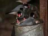 foto of java sparrow  - Playful Java rice birds grabbing food from a metal bucket - JPG