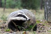 pic of badger  - Adult male badger in his natural enviroment