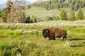 image of wander  - Buffalo Bull wanders across a meadow in Yellowstone National Park - JPG