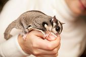 pic of possum  - Gray sugar glider - JPG