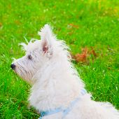 stock photo of westie  - Wonderful West Highlands Terrier looking left square image - JPG