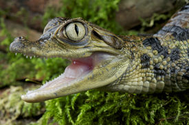 stock photo of crocodilian  - The spectacled Caiman is a medium sized crocodilian found across large parts of tropical South America including the Amazon and the Pantanal - JPG