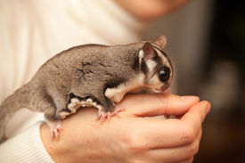 stock photo of possum  - Gray sugar glider - JPG