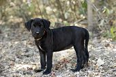 picture of puppy eyes  - A black puppy with beautiful eyes standing in the forest - JPG