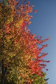 stock photo of canada maple leaf  - Maple trees in Ontario - JPG