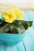 foto of primrose  - Primrose yellow flowers in a blue pot - JPG