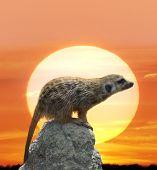 stock photo of meerkats  - Digital Painting Of Meerkat Against  Sunset - JPG